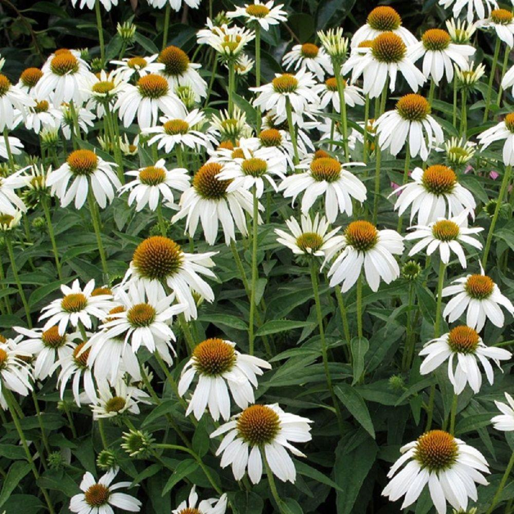 Southern living plant collection 25 qt crazy white echinacea with southern living plant collection 25 qt crazy white echinacea with drooping white petals and large mightylinksfo