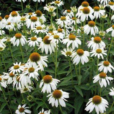 2.5 Qt. Crazy White Echinacea With Drooping White Petals And Large Orange Cones, Live Perennial Plant