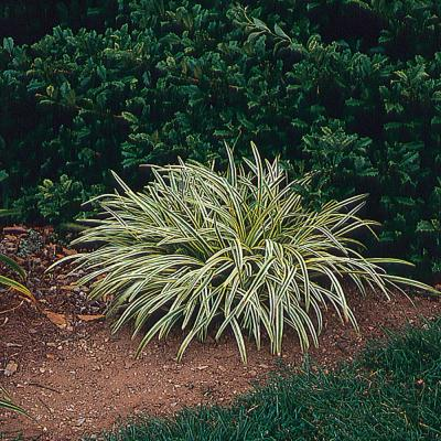 2.5 Qt. Silvery Sunproof Variegated Lily Turf Plant