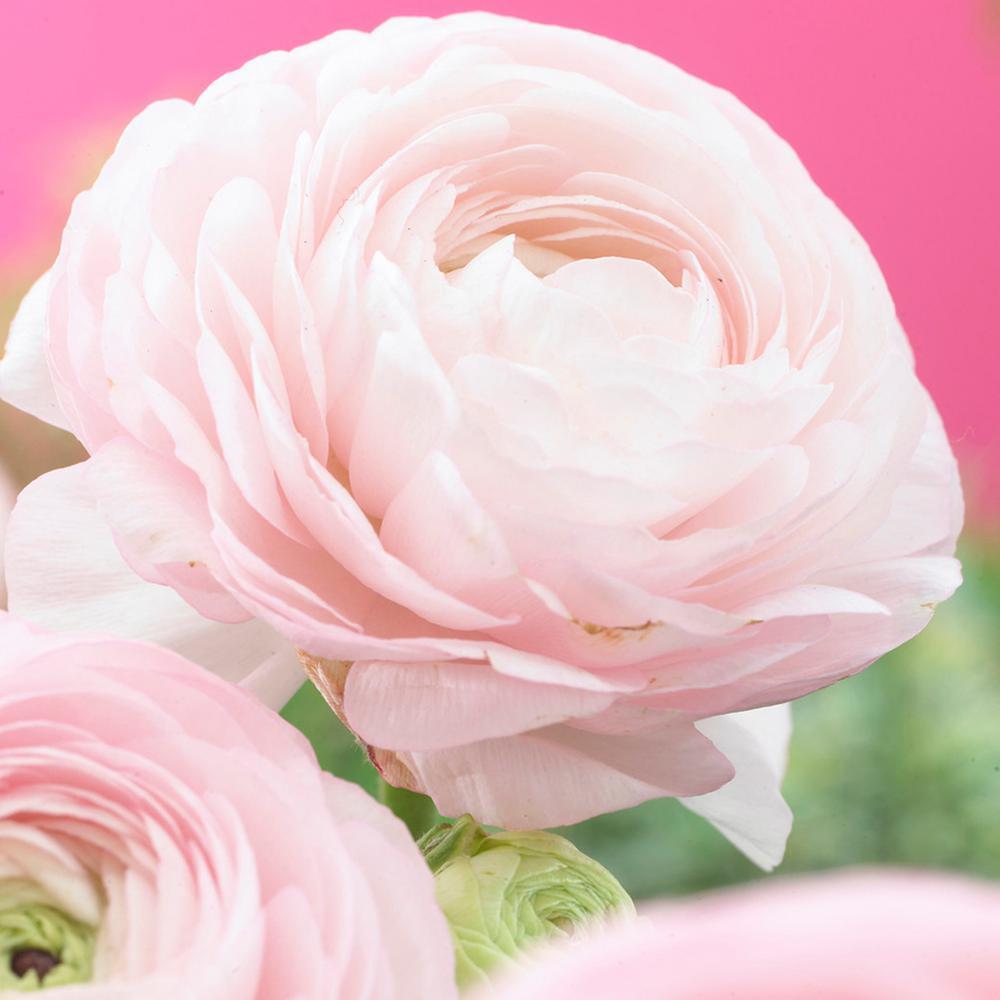 Butter Cups Bulbs Ranunculus Pink (Set of 25)