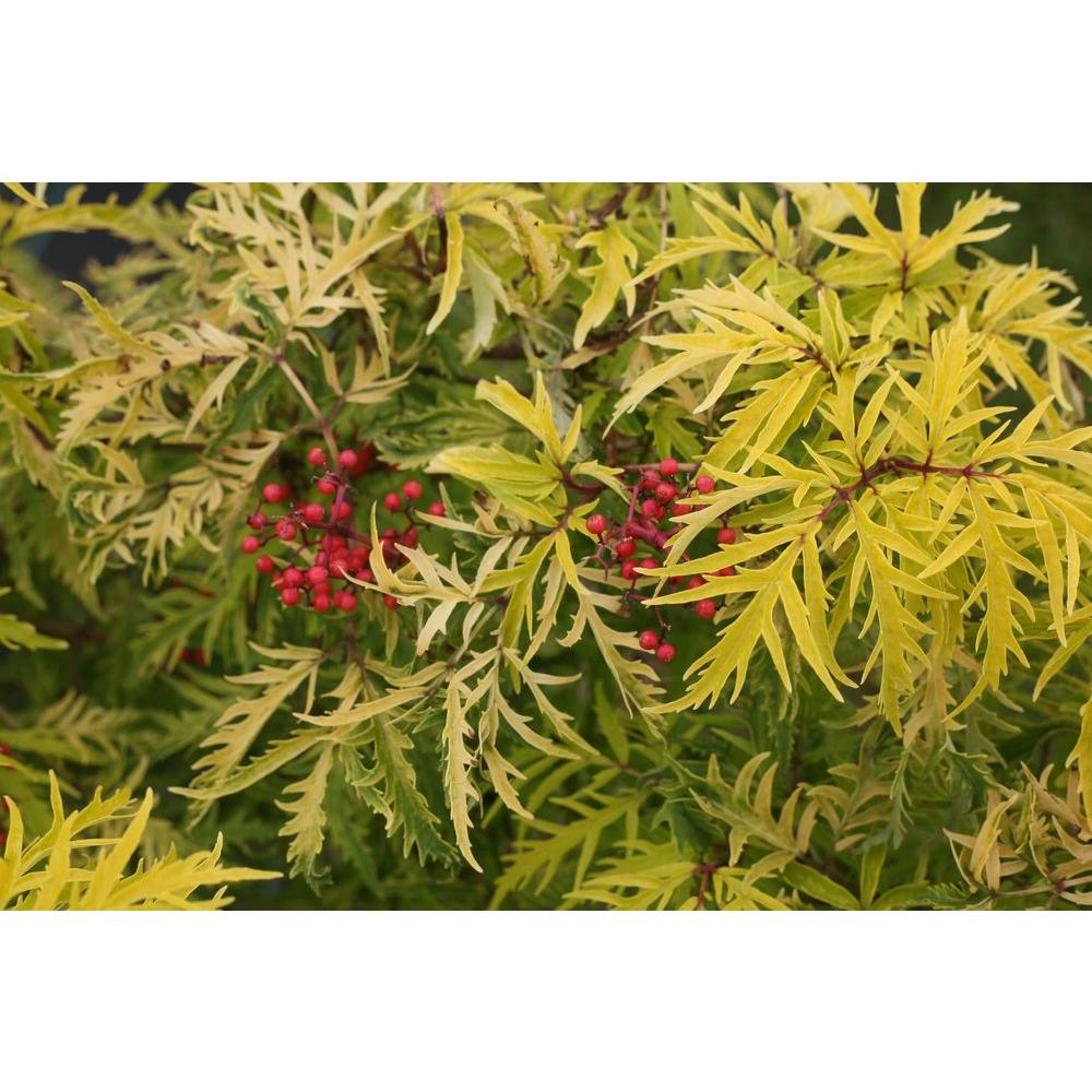 1 Gal. Lemony Lace Elderberry (Sambucus) White Flowers with Yellow and