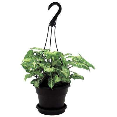 Nepthytis in 6 in. Hanging Basket