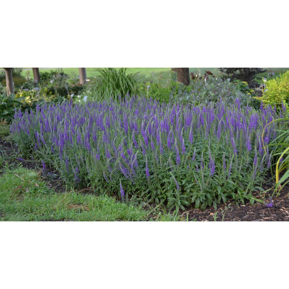 Magic Show Hocus Pocus Spike Speedwell (Veronica) Live Plant, Blue-Purple Flower, 0.65 Gal.
