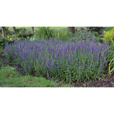 Magic Show Hocus Pocus Spike Speedwell (Veronica) Live Plant, Blue-Purple Flower, 4.5 in. qt.