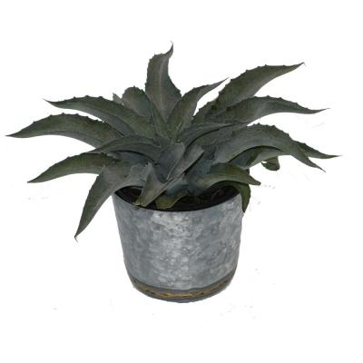 1 Gal. Mangave Whale Tale Large Succulent Plant