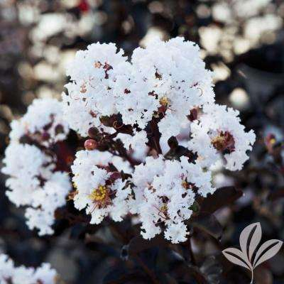 4 in. x 4 in. x 10 in. Crape Myrtle Pure White Container