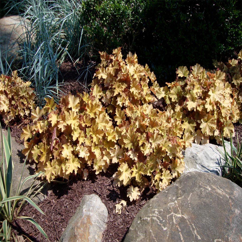 1 gal. Caramel Coral Bells or Heuchera Plant