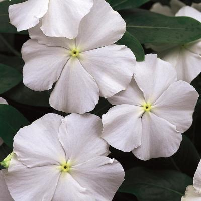 1.38-Pint White and Cream Periwinkle Plant