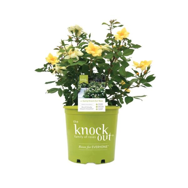 1 Gal. Sunny Rose Plant with Yellow Flowers