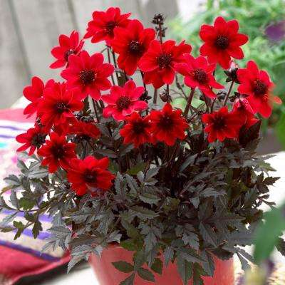 Container Red Dahlias Pulp Fiction Bulbs (3-Pack)