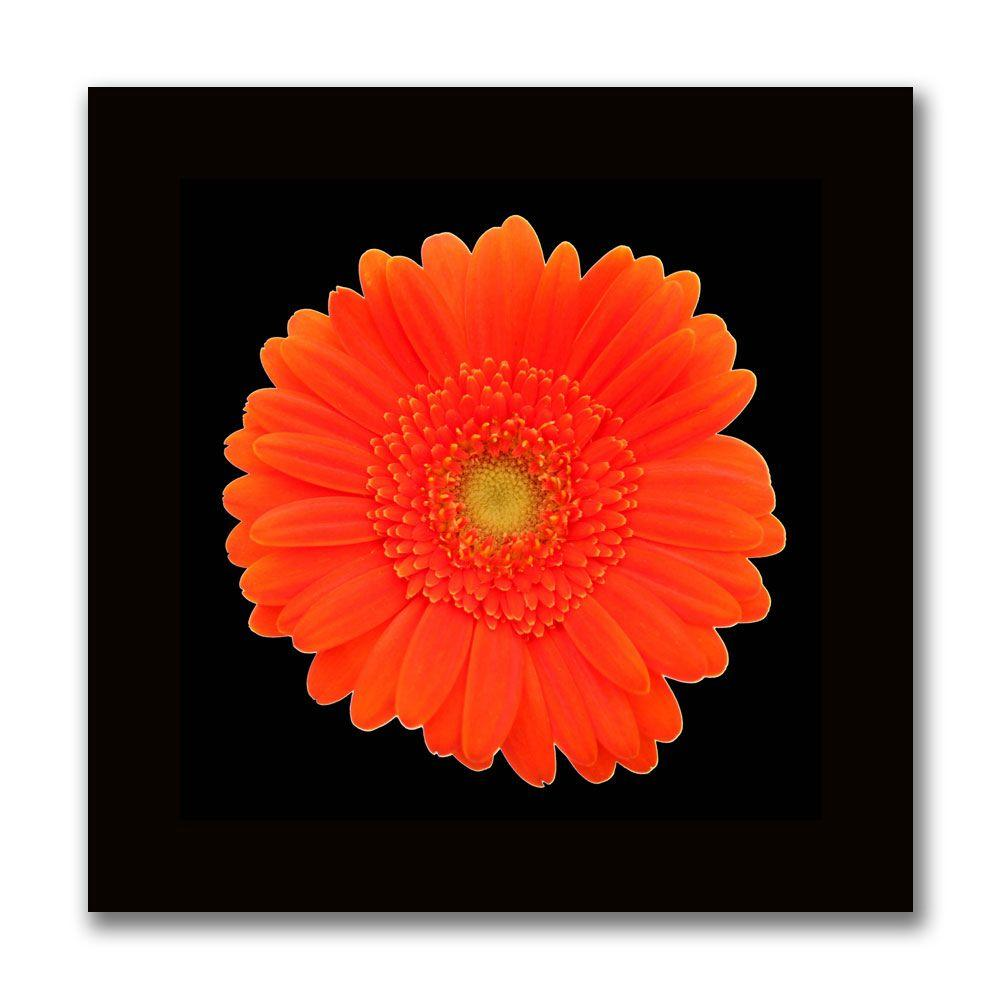 null 24 in. x 24 in. Orange Gerber Daisy Canvas Art