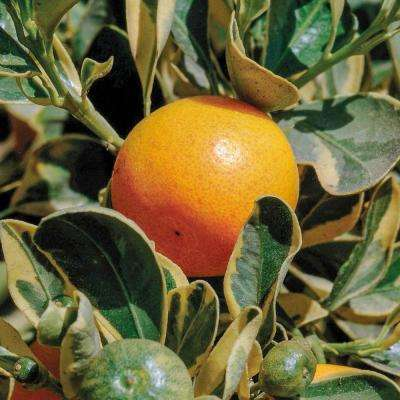 4 in. Pot White Flowers to Orange Fruit Variegated Calamondin Orange Tree Live Fruiting Tropical Tree (1-Pack)