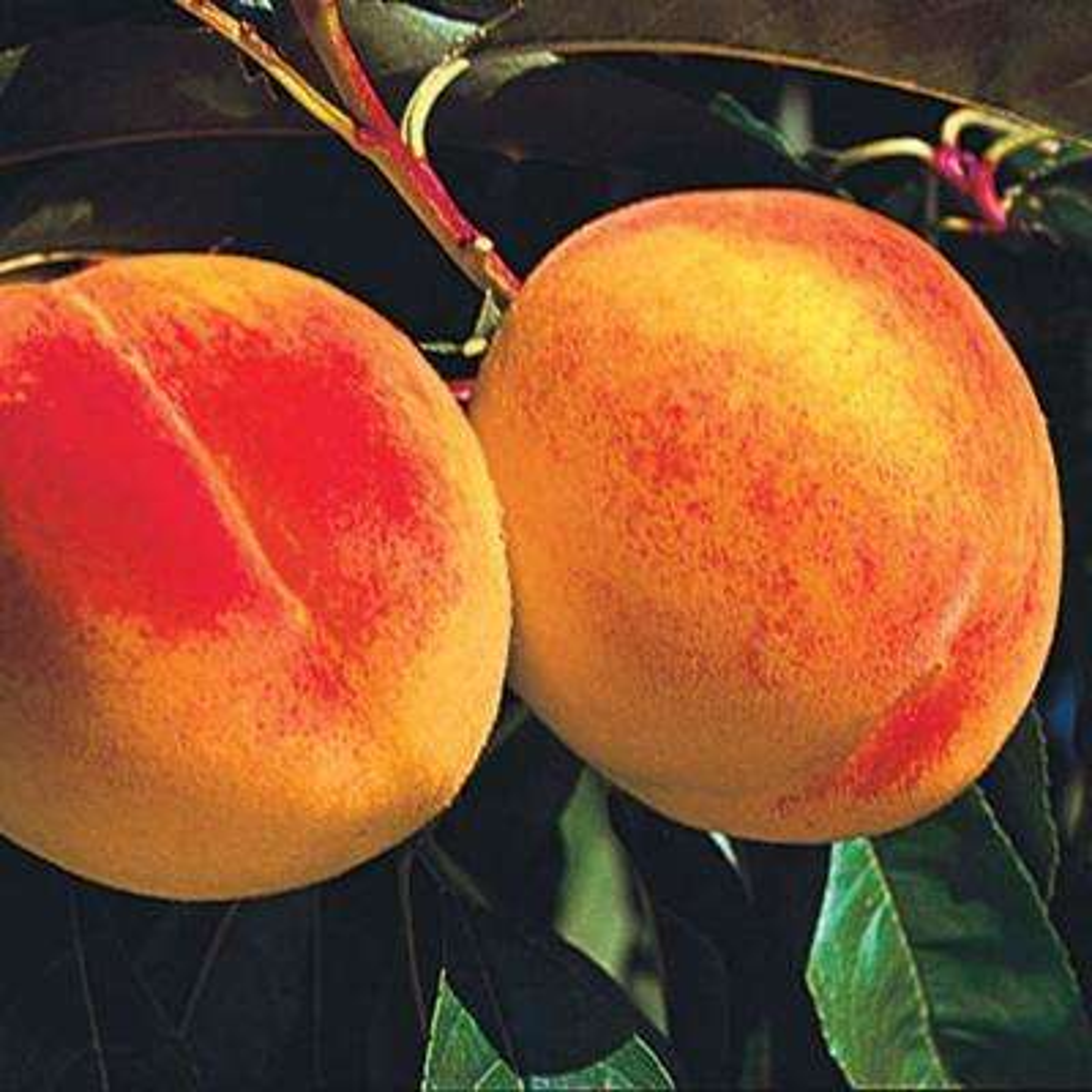 Reliance Reachables Peach Prunus Live Fruiting Bareroot Tree