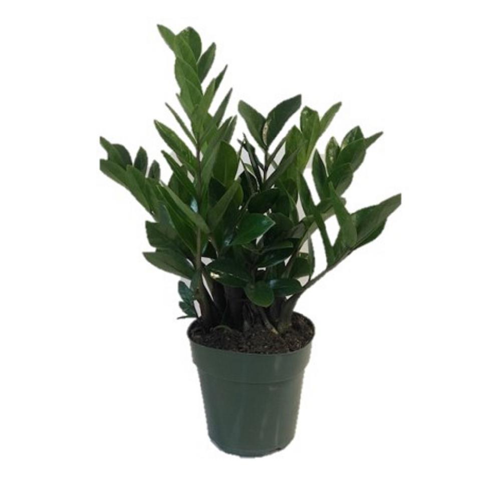 2 Gal. ZZ Plant in 10 in. Nursery Pot