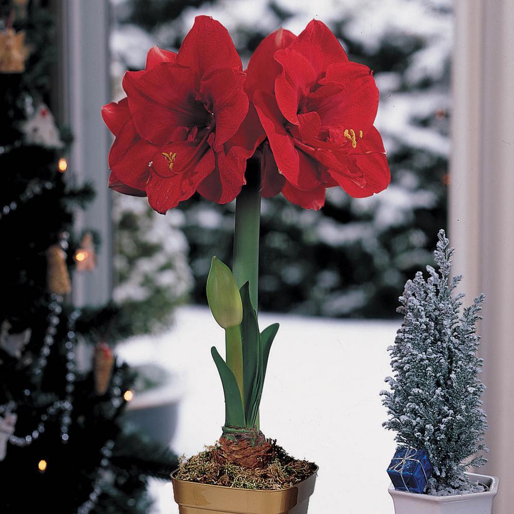 Merry Christmas Single Amaryllis (Hippeastrum) Bulb (1-Pack)
