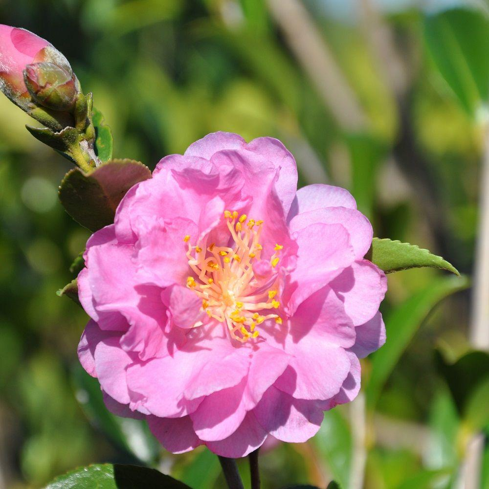 Southern Living Plant Collection 2 Gal Pink Stella Camellia