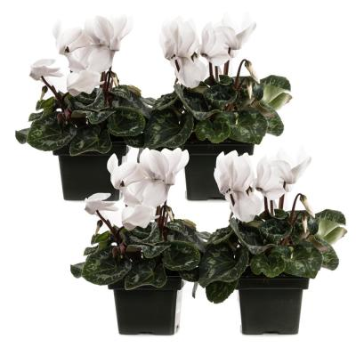 1.21-Pint White Cyclamen Latinia Plant in 4 in. Pot (4-Pack)