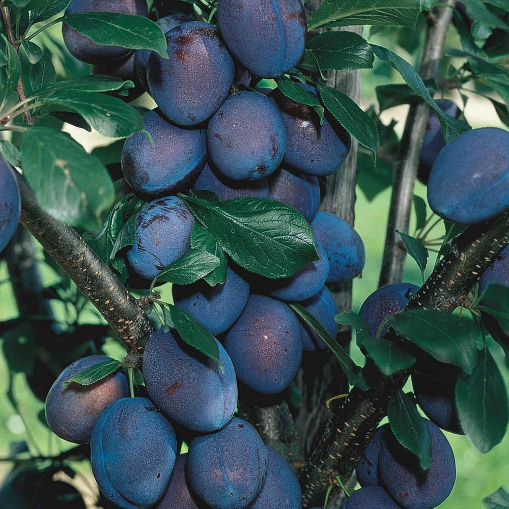 Stanley Plum Prunus Live Fruiting Bareroot Tree (1-Pack)