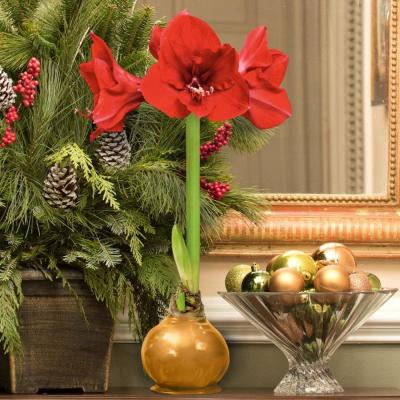 BlooMaker Gold Waxed Red Blooming Giant Amaryllis Bulbs (3-Pack)