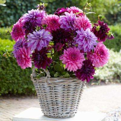 #1 Lavender Blush Mix Dahlia Bulbs (5-Pack)