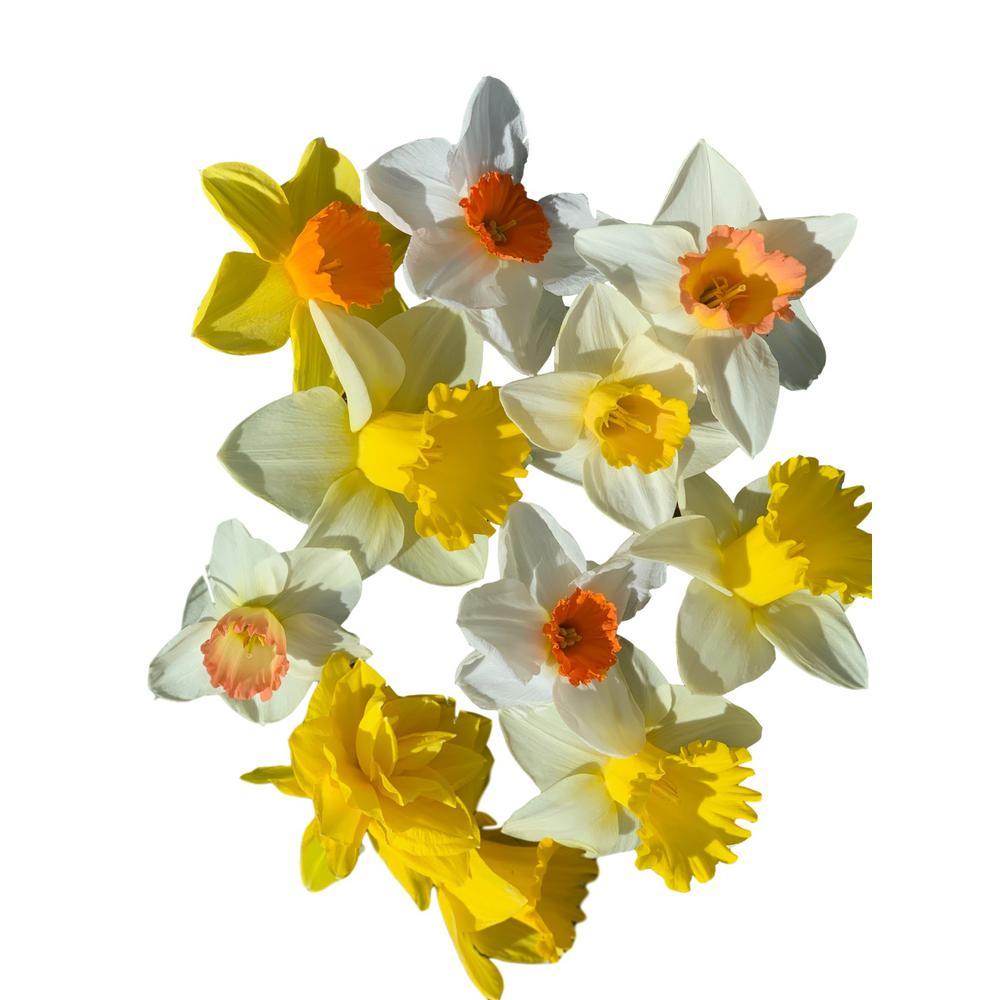 Daffodil Narcissus Mix 60-Days of Daffodils 50-Bulbs