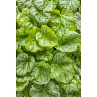 0.65 Gal. Dolce Appletini Coral Bells (Heuchera) Live Plant, Green Foliage and Pink Flowers
