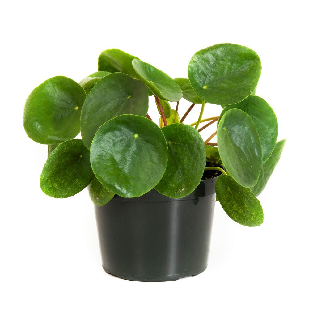 United Nursery Pilea Peperomioides in 6 in. Grower Pot