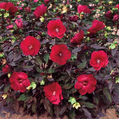 Midnight Marvel Hibiscus, Live Bareroot Perennial Plant, Red Flowers (1-Pack)