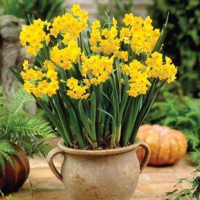 Grand Soleil D' Or Paperwhite Narcissus (25-Pack)