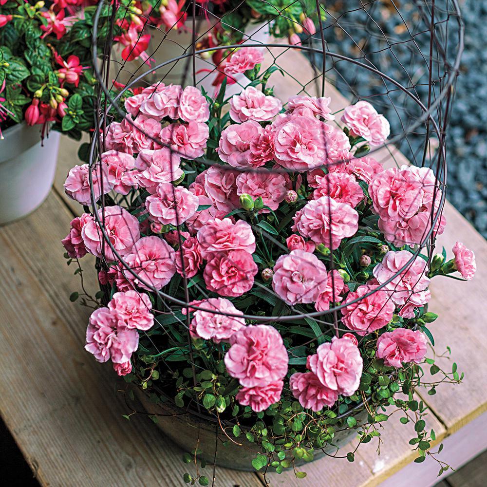 Sunflor Luigi Dianthus, Live Bareroot Perennial Plant, Orange Flowers (1-Pack)