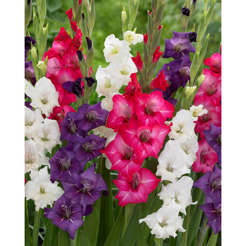 Gladiolus - Assorted Colors - Flower Bulbs - Garden Plants & Flowers ...