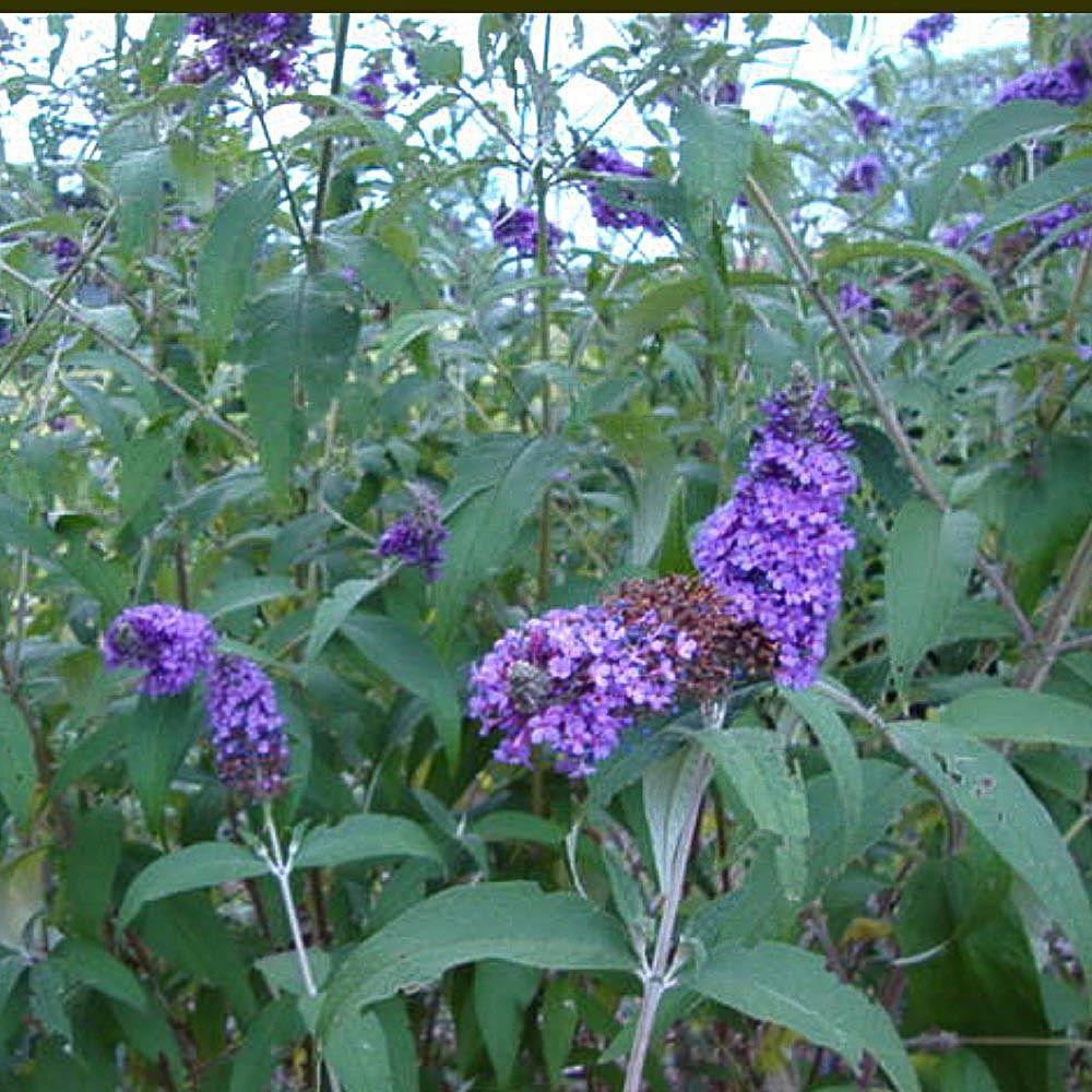 2 Gal. Nanho Purple Butterfly Bush Plant