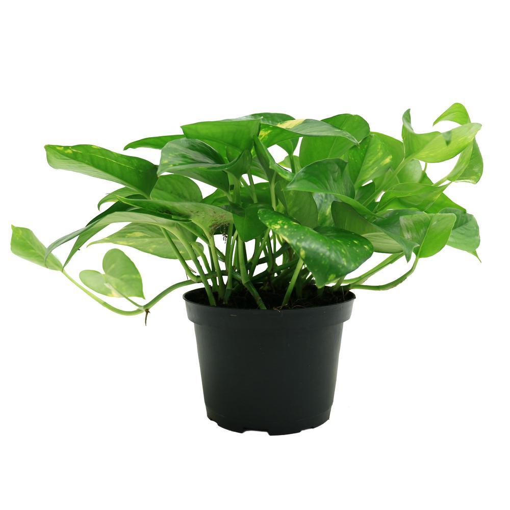 Golden Pothos 6 In Grower Pot