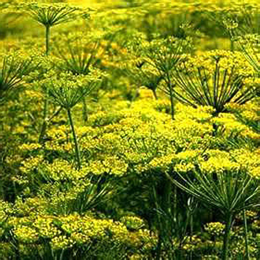 OnlinePlantCenter 3.5 in. Dill Weed Culinary Herb Plant