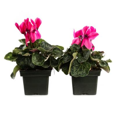 1.21-Pint Light Pink Cyclamen Latinia in 4 in. Pot (2-Pack)