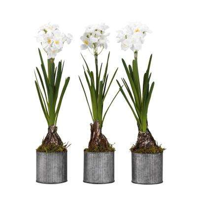 Indoor Paperwhite Bulbs in Round Tin Planters (Set of 3)