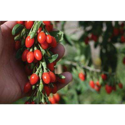 3 Gal. Big Lifeberry Goji berry (Lycium) Purple Flowers and Red Fruit