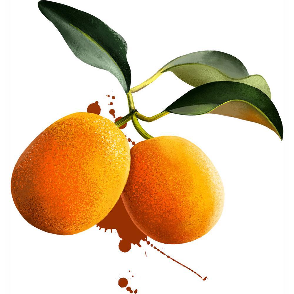 Kumquat Citrus Tree -  Meiwa Kumquat- 1 Plant