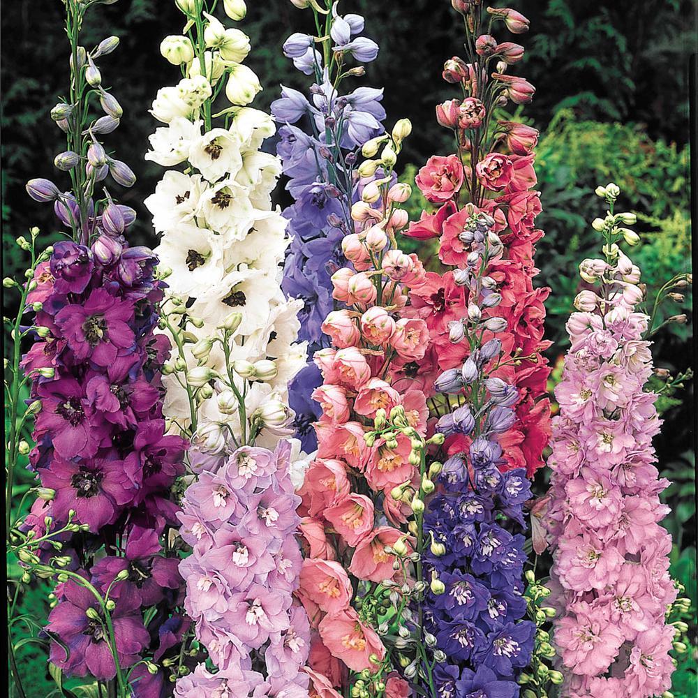 Multi-Colored Flowers Delphinium Mixture Live Bareroot Perennial Plants (3-Pack)