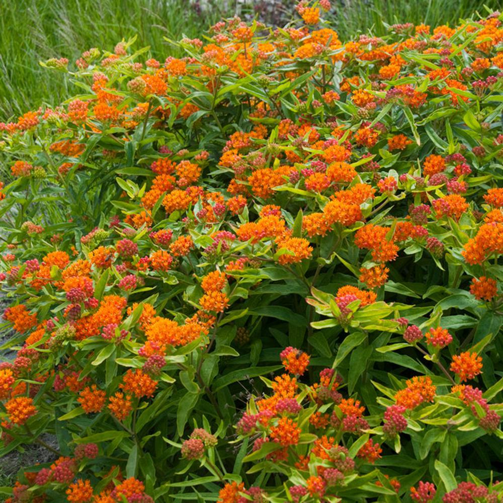 Van Zyverden Support The Monarchs Orange Asclepias