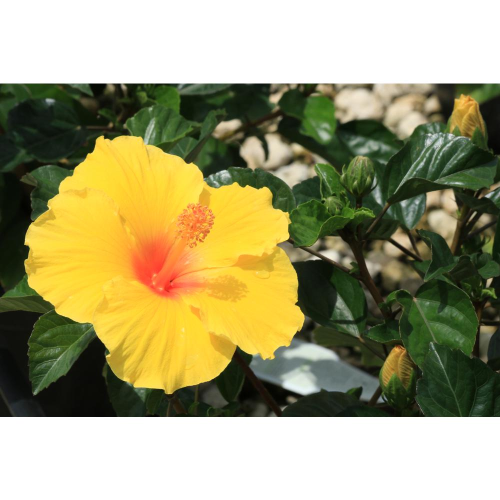 Costa Farms 3 Qt Yellow Hibiscus Tropical Live Outdoor Flowers In Grower Pot