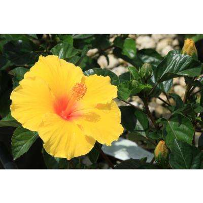 3 Qt  Yellow Hibiscus Tropical Live Outdoor Flowers in Grower Pot