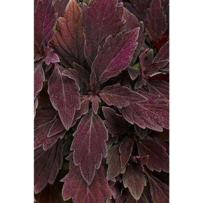 ColorBlaze Marooned Coleus (Solenostemon) Live Plant, Dark Purple Foliage, 4.25 in. Grande, 4-pack