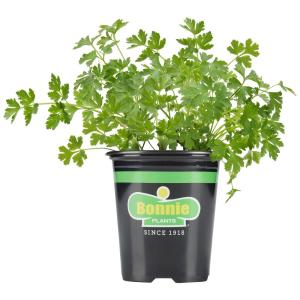 19.3 oz. Flat Italian Parsley Plant