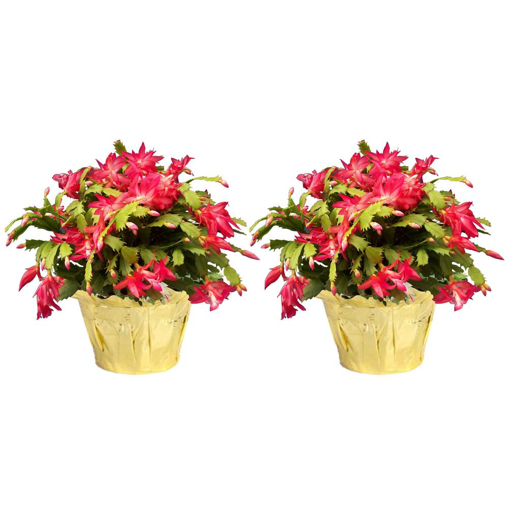 Costa Farms 6 in. Fresh Christmas Cactus Grower's Choice - Pink, Red or White (Live 2-Pack)