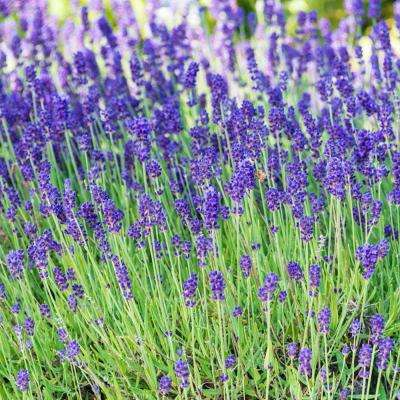 Blue Fragarent Lavender (Lavendula), Live Bareroot Plant, Royal Purple-Blue Flowering Perennial (3-Pack)