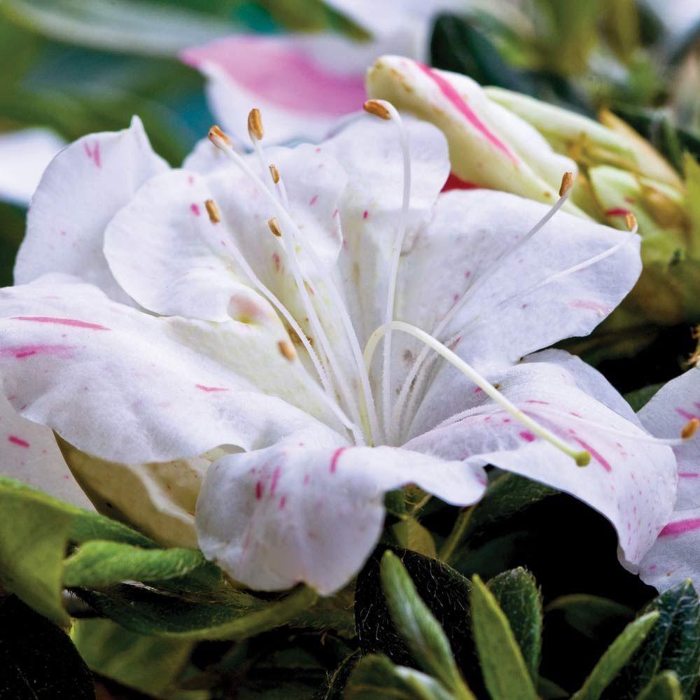 Encore Azalea 1 Gal Autumn Starlite Re Blooming Evergreen Shrub