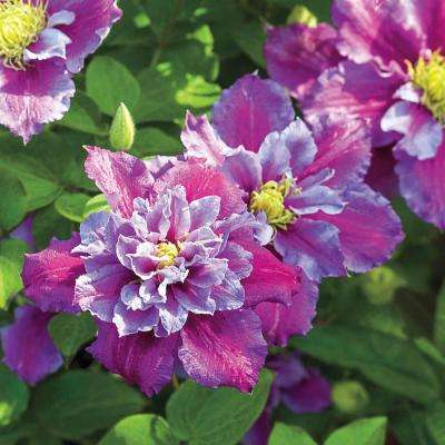 3 in. Pot Piilu Clematis Live Deciduous Plant Lilac Colored Flowering Perennial Vine (1-Pack)