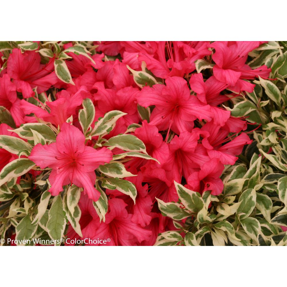 Bollywood Azalea (Rhododendron) Live Evergreen Shrub, Pink Flowers with Green