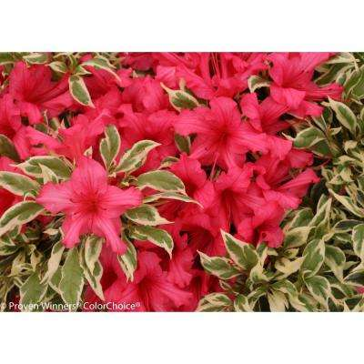 Bollywood Azalea (Rhododendron) Live Evergreen Shrub, Pink Flowers with Green and White Foliage, 4.5 in. Qt.